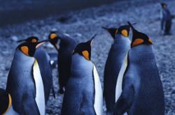 Teamwork - penguins